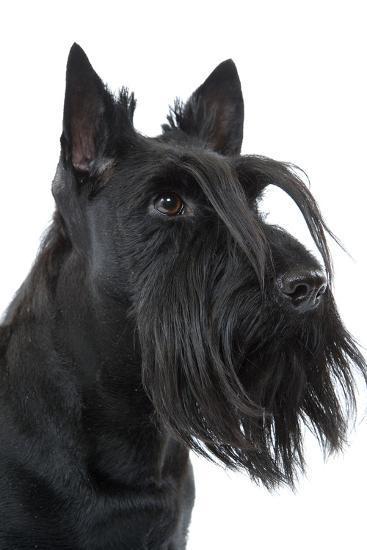 Scottish Aberdeen Terrier--Photographic Print