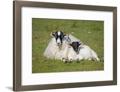Scottish Black-Faced Ewe and Lamb