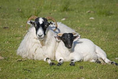 Scottish Black-Faced Ewe and Lamb--Photographic Print