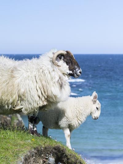 Scottish Blackface on the Isle of Harris, Scotland-Martin Zwick-Photographic Print