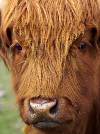 Scottish Cow, Deer Park Heights, Queenstown, South island, New Zealand-David Wall-Photographic Print