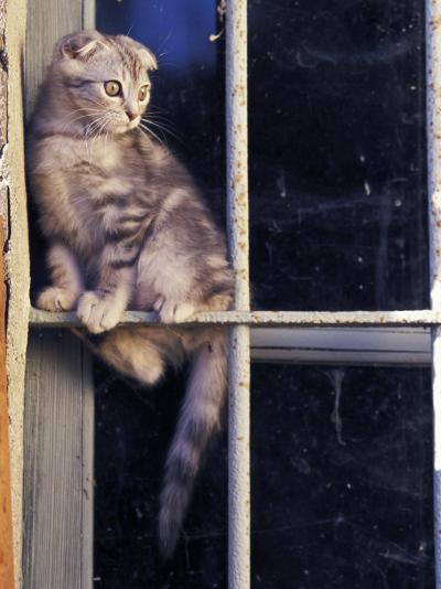 Scottish Fold Cat Balanced on Window Bar, Italy-Adriano Bacchella-Photographic Print