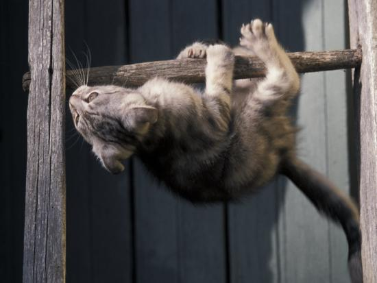 Scottish Fold Cat Hanging Upside-Down from Ladder Rung, Italy-Adriano Bacchella-Photographic Print