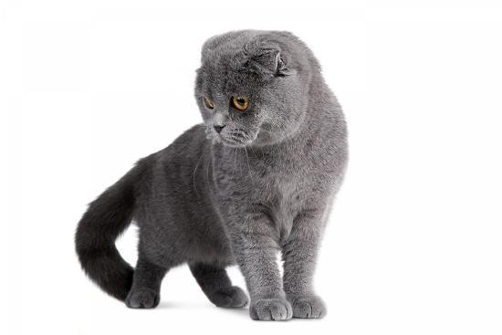 Scottish Fold Cat Photographic Print by Fabio Petroni | Art com
