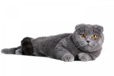Scottish Fold Cat-Fabio Petroni-Photographic Print