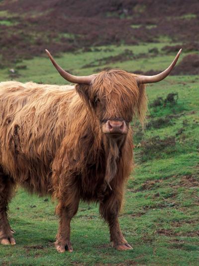 Scottish Highland Cattle, Isle of Skye, Scotland-Gavriel Jecan-Photographic Print
