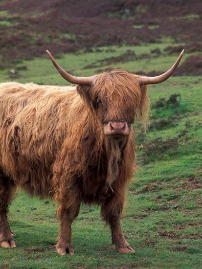 Scottish Highland Cattle Isle Of Skye Scotland Photographic Print By Gavriel Jecan Artcom
