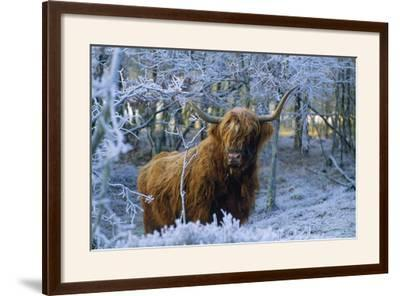 Scottish Highland Cow in Frost--Framed Photographic Print