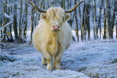 Scottish Highland Cow in Frost--Photographic Print