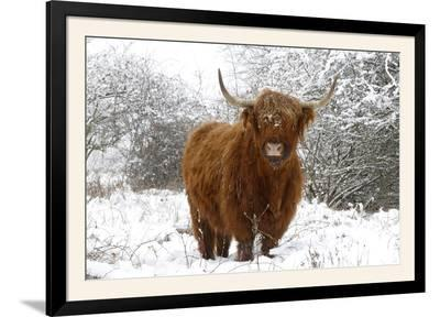 Scottish Highland Cow in the Snowy Foreland of River Ijssel--Framed Photographic Print