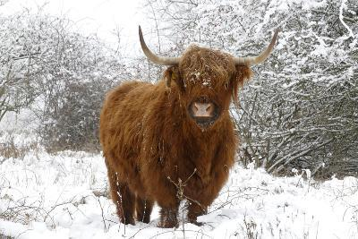 Scottish Highland Cow in the Snowy Foreland of River Ijssel--Photographic Print