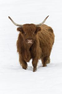 Scottish Highland Cow Standing on Snow Covered Field