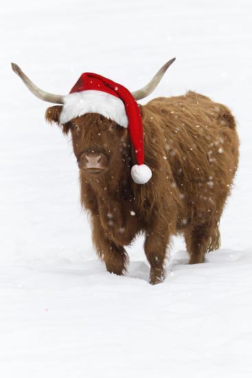 Scottish Highland Cow Standing on Snow--Photographic Print