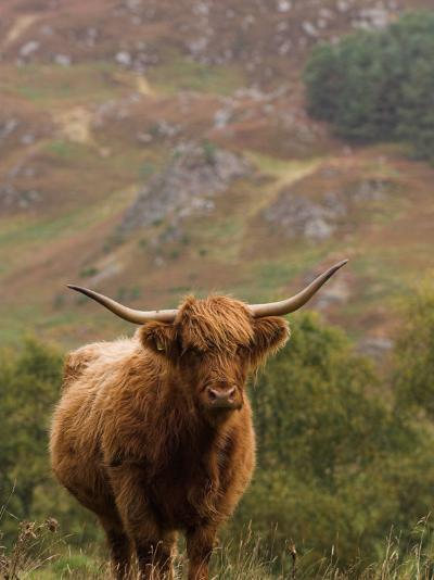 Scottish Highland Cow-Wayne Hutchinson-Photographic Print