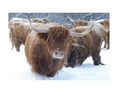 Scottish Highlanders-Orah Moore-Art Print