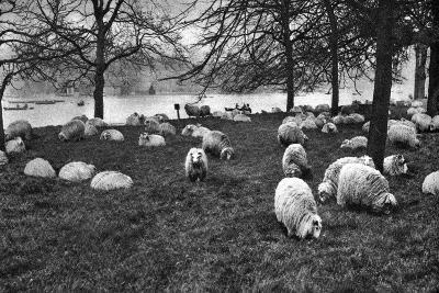 Scottish Sheep by the Serpentine, Hyde Park, London, 1926-1927--Giclee Print