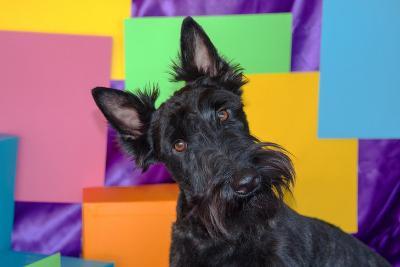 Scottish Terrier Portrait in Colors-Zandria Muench Beraldo-Photographic Print