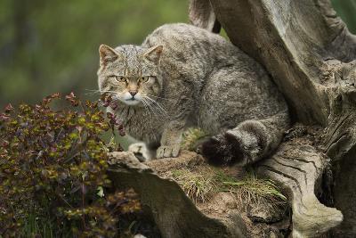 Scottish Wildcat (Wildcat) (Felis Silvestris), Devon, England, United Kingdom-Janette Hill-Photographic Print