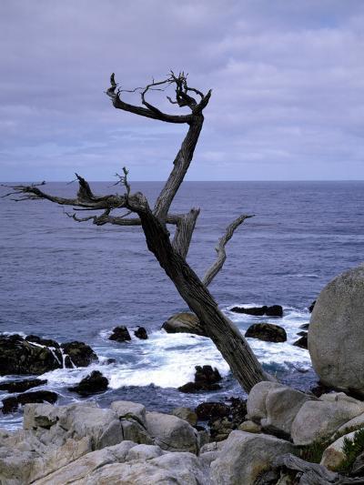 Scraggly Cypress Tree on the Central California Coast-Carol Highsmith-Photo