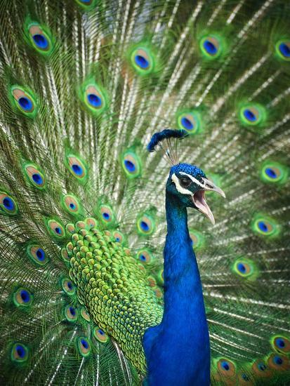Screaming peacock-Grafton Smith-Photographic Print