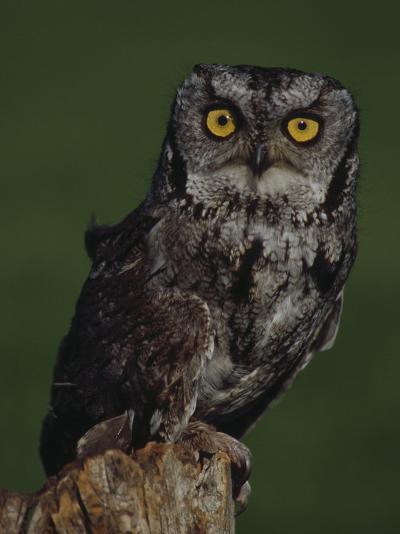 Screech Owl-Russell Burden-Photographic Print