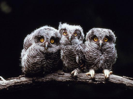 Screech Owlets Sitting on Tree Branch--Photographic Print