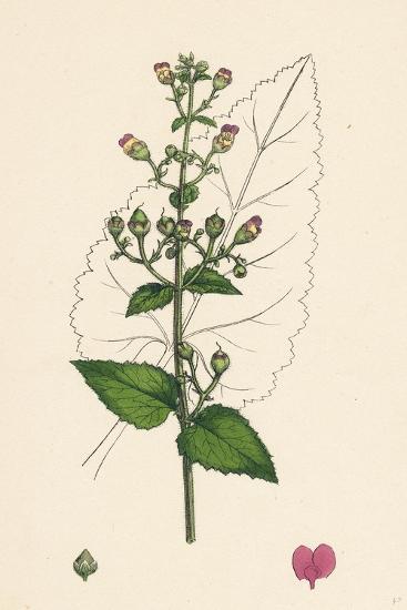 Scrophularia Scorodonia Balm-Leaved Figwort--Giclee Print