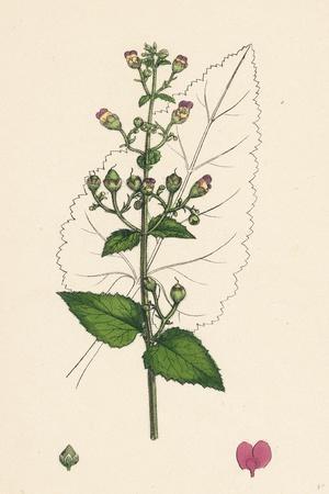 https://imgc.artprintimages.com/img/print/scrophularia-scorodonia-balm-leaved-figwort_u-l-pvfipm0.jpg?p=0