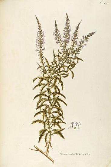 Scrophulariaceae--Giclee Print