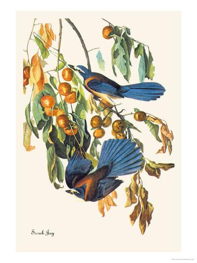 Scrub Jay-John James Audubon-Art Print
