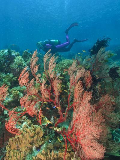 Scuba Diver and Sea Fans, Raja Ampat, Papua-Stuart Westmorland-Photographic Print