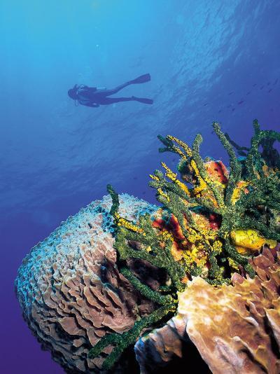 Scuba Diver Near Coral Wall, Bahamas-Shirley Vanderbilt-Photographic Print
