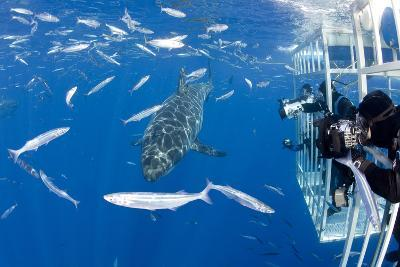 Scuba Diver Photographing Great White Shark, (Carcharodon Carcharias) from Cage-Franco Banfi-Photographic Print