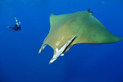 Scuba Diver with Devilray (Mobula Tarapacana)-Franco Banfi-Photographic Print
