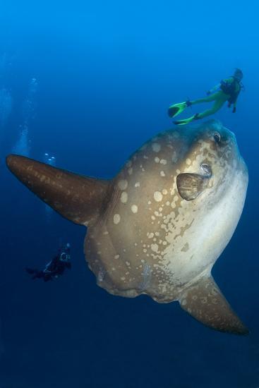 Scuba Diver With Ocean Sunfish (Mola Mola) Crystal Bay, Nusa Penida, Bali Island-Franco Banfi-Photographic Print