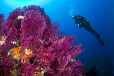 Scuba Diver with Red Gorgonian Coral (Lophogorgia Chilensis)-Franco Banfi-Photographic Print