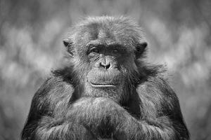Chimp by SD Smart