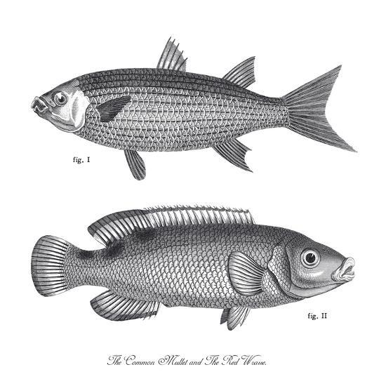 Sea and River Fish I-The Chelsea Collection-Giclee Print