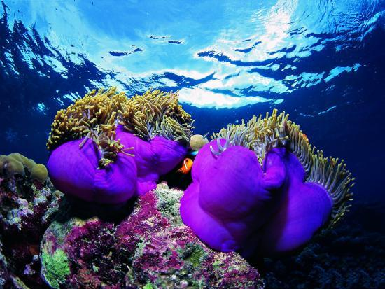 Sea Anemones (Heteractis Magnifica) and Clown Fish (Amphiprion Nigripes)-Andrea Ferrari-Photographic Print