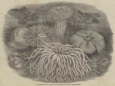 Sea Anemones in the Gardens of the Zoological Society, Regent's Park
