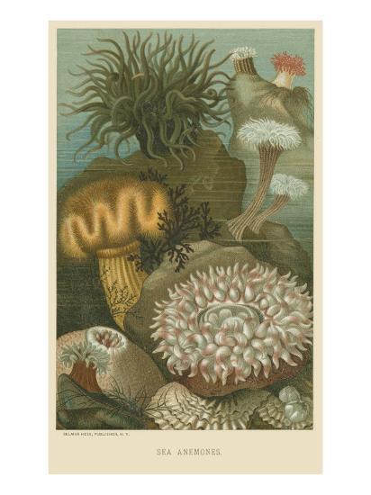 Sea Anemones--Art Print