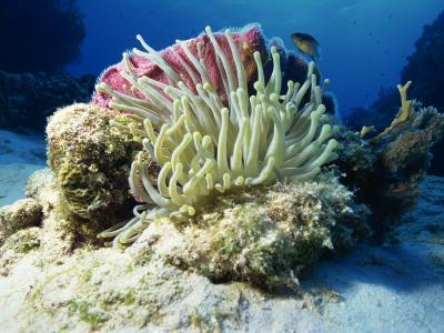 Sea Anenome, Caribbean Sea, Central America-Gavin Hellier-Photographic Print