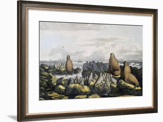 Sea Bears from Saint Paul Island--Framed Giclee Print