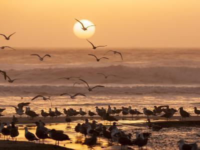 Sea Birds on Beach, Sun Setting in Mist, Santa Cruz Coast, California, USA,-Tom Norring-Photographic Print