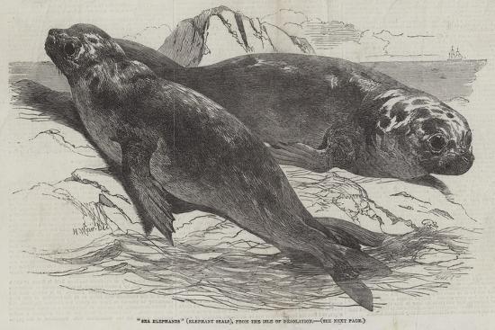 Sea Elephants (Elephant Seals), from the Isle of Desolation-Harrison William Weir-Giclee Print