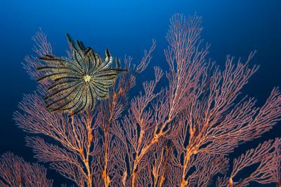 Sea Fan And Crinoid-Matthew Oldfield-Photographic Print