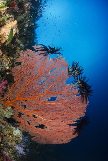 Sea Fan (Gorgonia) and Feather Star (Crinoidea), Rainbow Reef, Fiji-Pete Oxford-Photographic Print