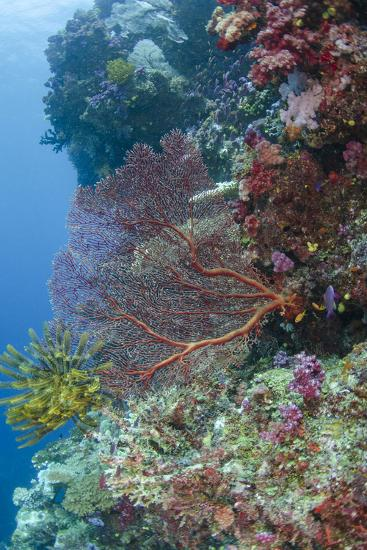 Sea Fan Gorgonian (Gorgonacea), Coral Reef, Namena Island, Fiji-Pete Oxford-Photographic Print