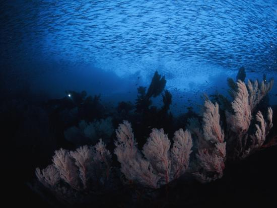 Sea fans and a school of cesio fish in passage off of Misool Island-David Doubilet-Photographic Print