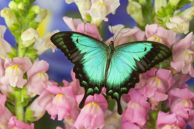 Sea Green Swallowtail Butterfly, Papilio-Darrell Gulin-Photographic Print